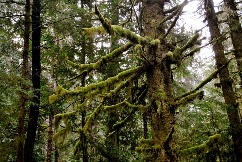 west coast tree
