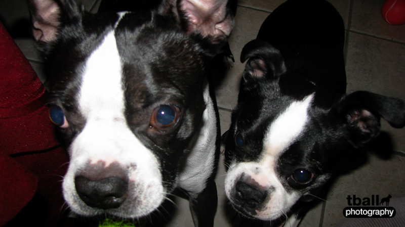 Mica & Frisbee - the two cutest boston terriers