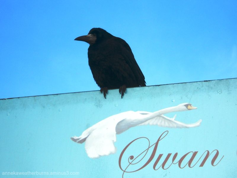 Are you sure I'm not a swan