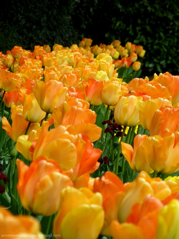 River of Tulips
