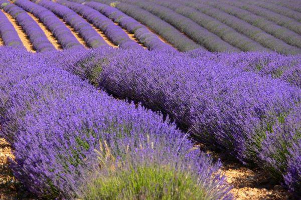 La Route des Lavandes / Lavenders Road 1