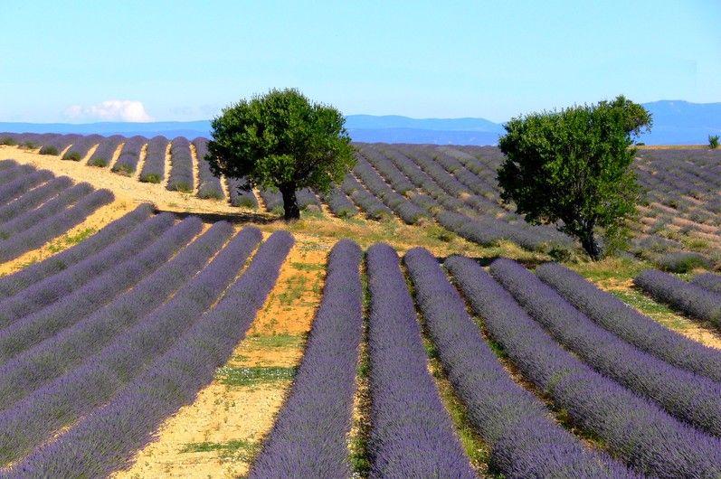 La Route des Lavandes / Lavenders Road 2