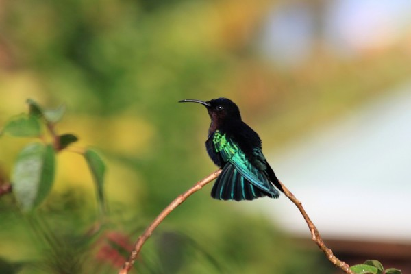 Martinique:  Le Colibri