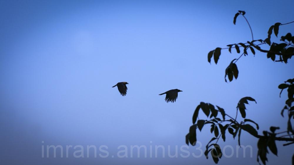 crows in  the blue skies