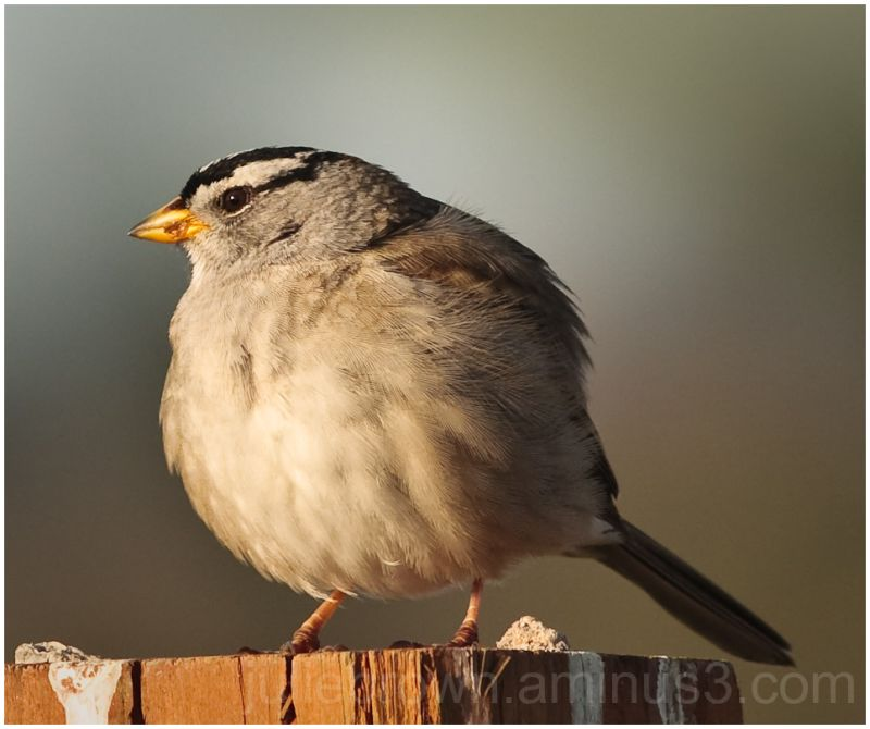 white-crowned sparrow on post