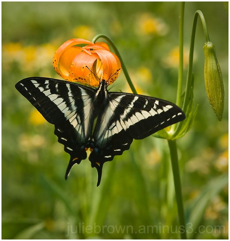 pale swallowtail on flower in the sierra nevade