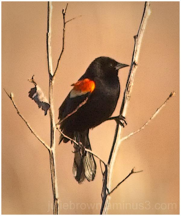 redwing blackbird in field