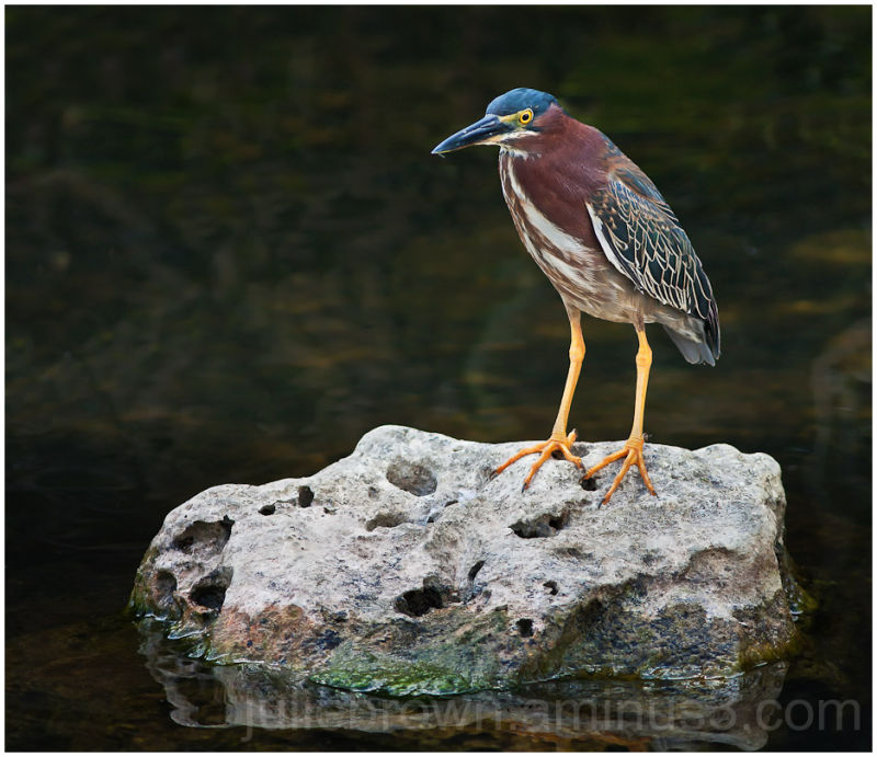 Green heron on rock in the Everglades