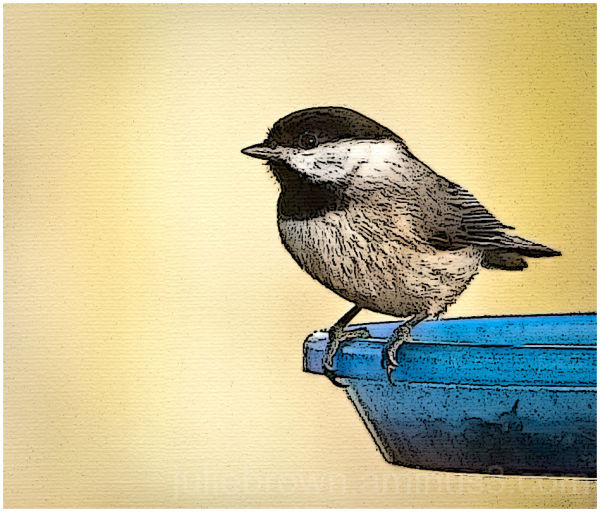 black capped chickadee at feeder