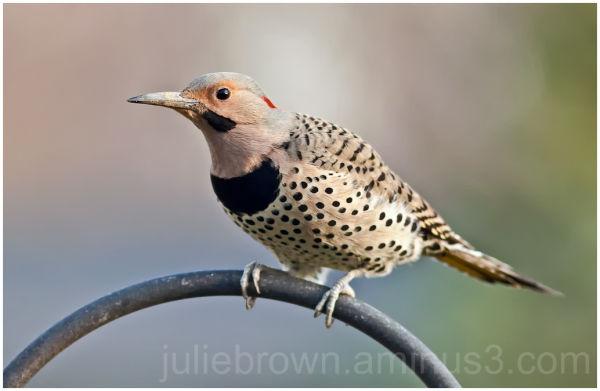 male northern flicker on feeder