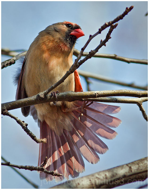 female cardinal fanning her tail in tree