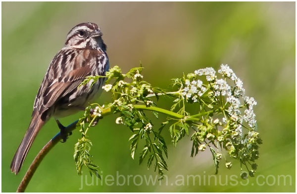Song Sparrow near Carmel River California