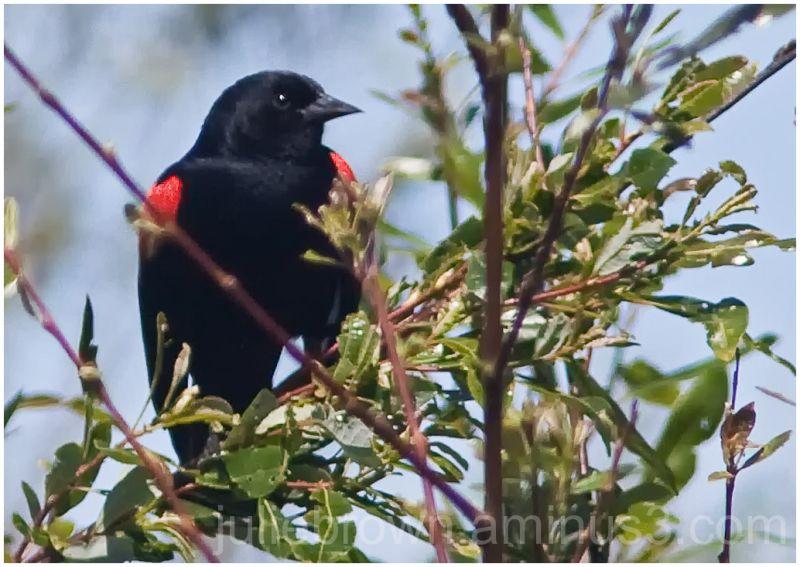 redwinged blackbird near carmel river