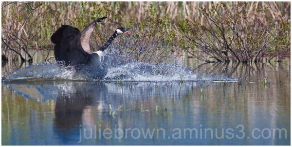 goose landing in pond