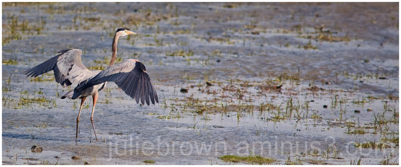 great blue heron with wings spread in marsh