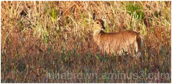white-tailed deer at Magee Marsh Ottawa NWR