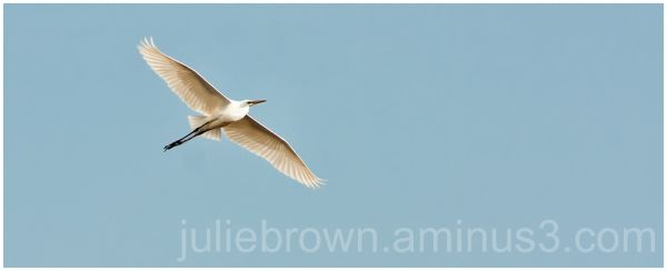 great egret in flight ottawa nwr lake erie ohio