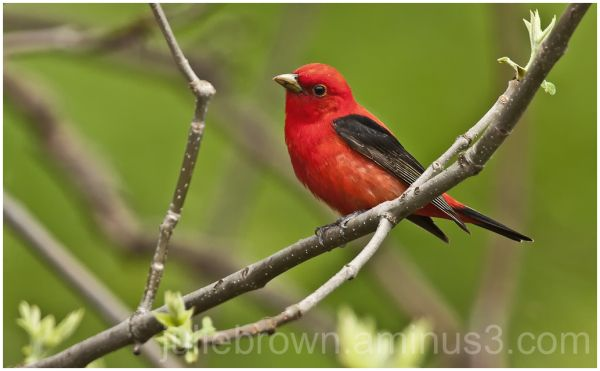 scarlet tanager in woods at magee marsh lake ohio