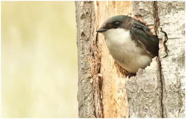 female tree swallow in nest hole at magee marsh
