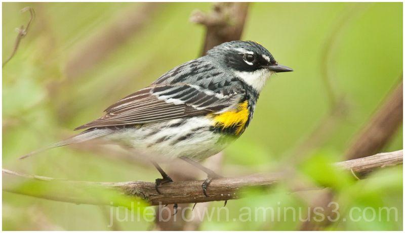 yellow-rumped warbler at magee marsh