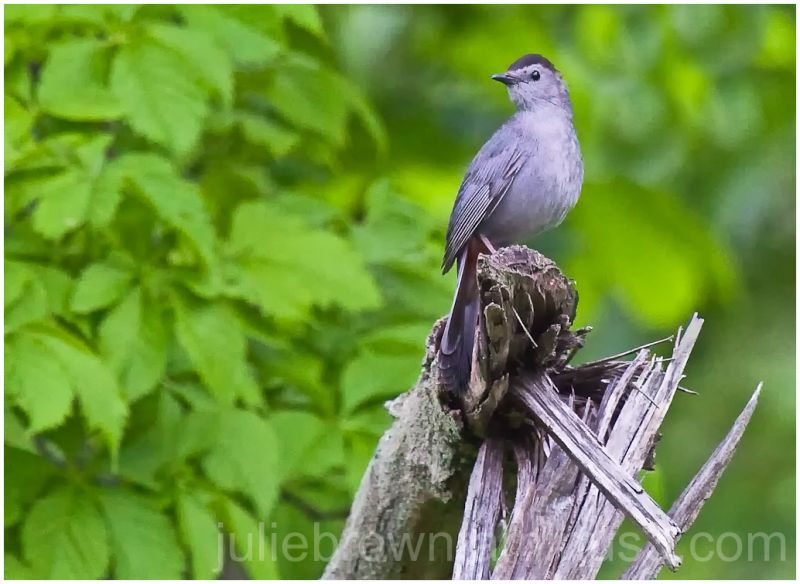 gray catbird at fort harrison state park indiana