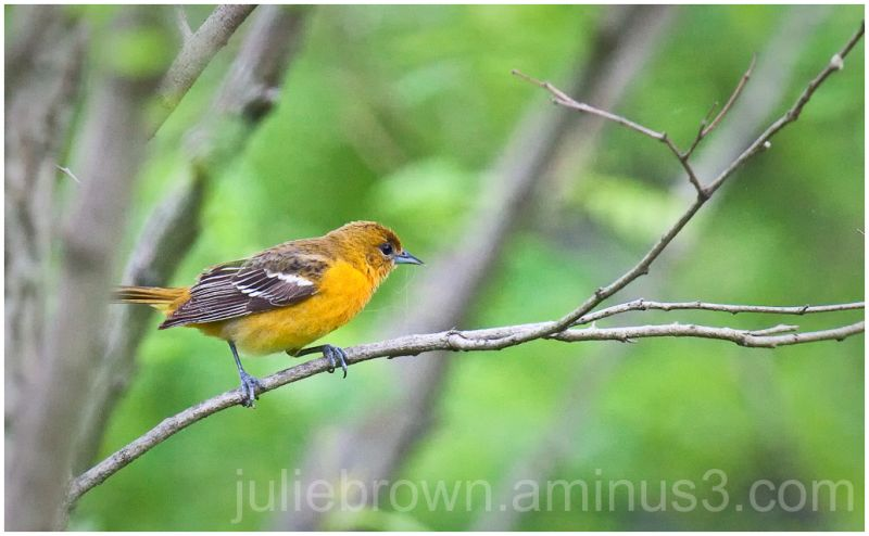 female baltimore oriole indianapolis indiana