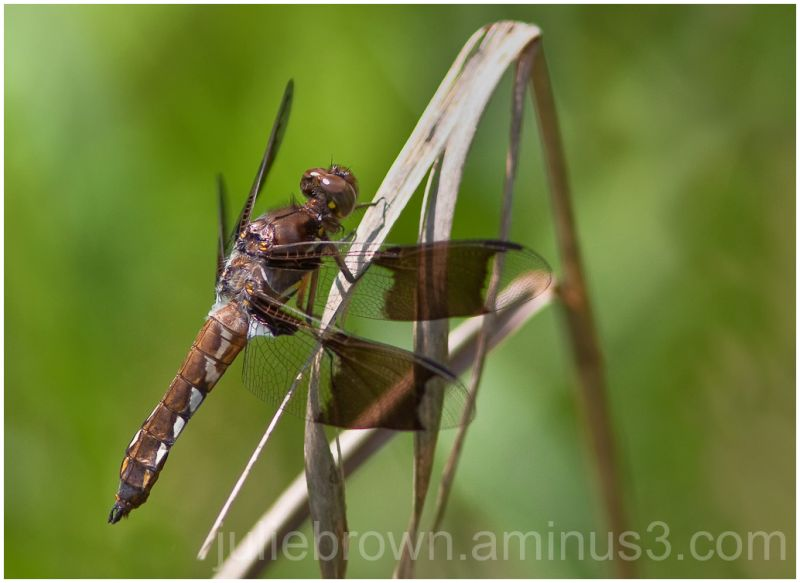 immature common whitetail dragonfly male