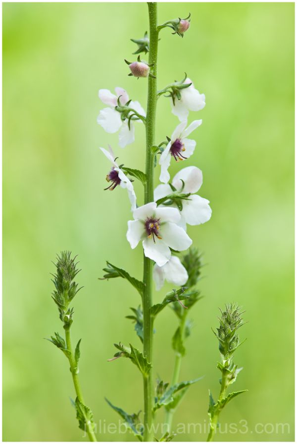 moth mullein at ft harrison state park indianapoli
