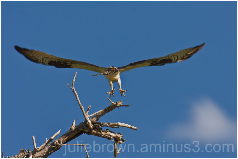 osprey take-off from perch sawhill ponds boulder