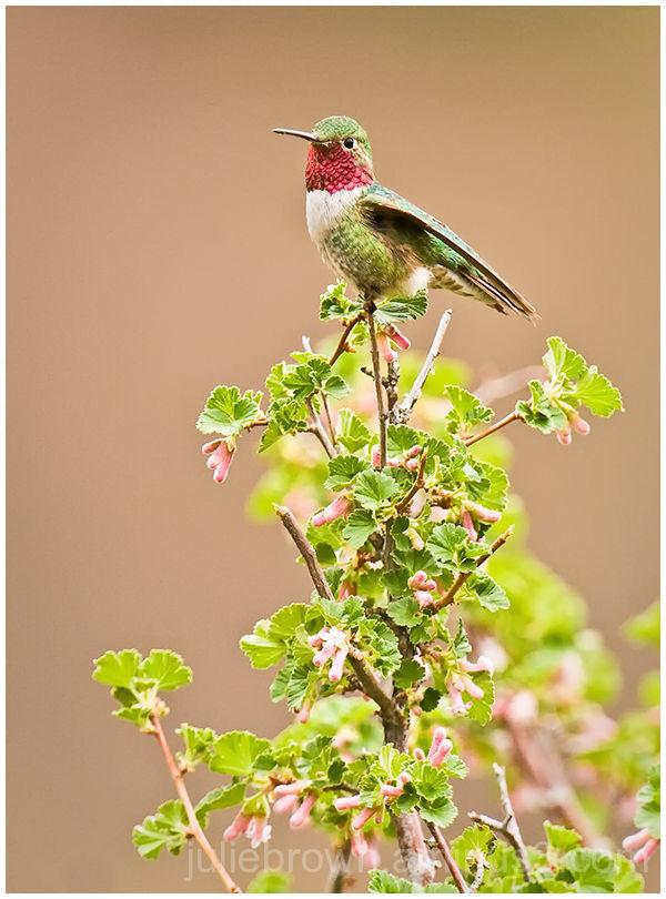 broad-tailed hummingbird on flowering bush at RMNP