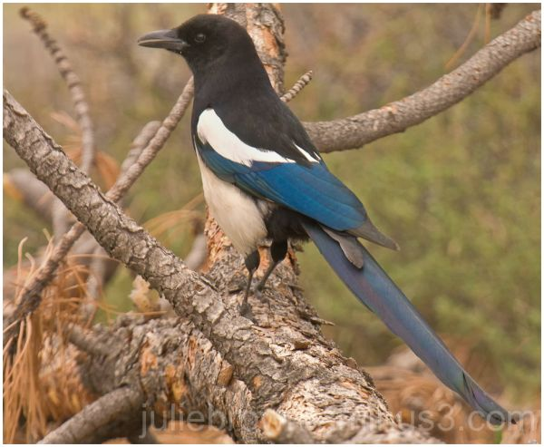 black-billed magpie rocky mountain national par
