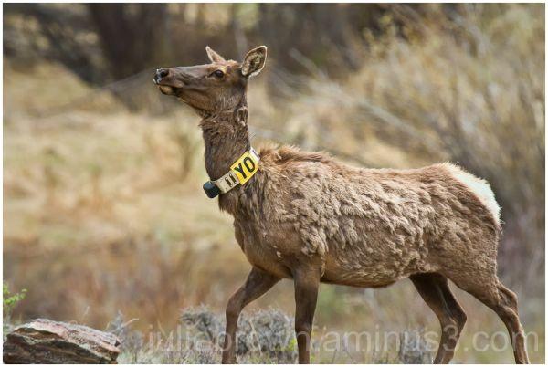 female elk with radio collar moraine park RMNP