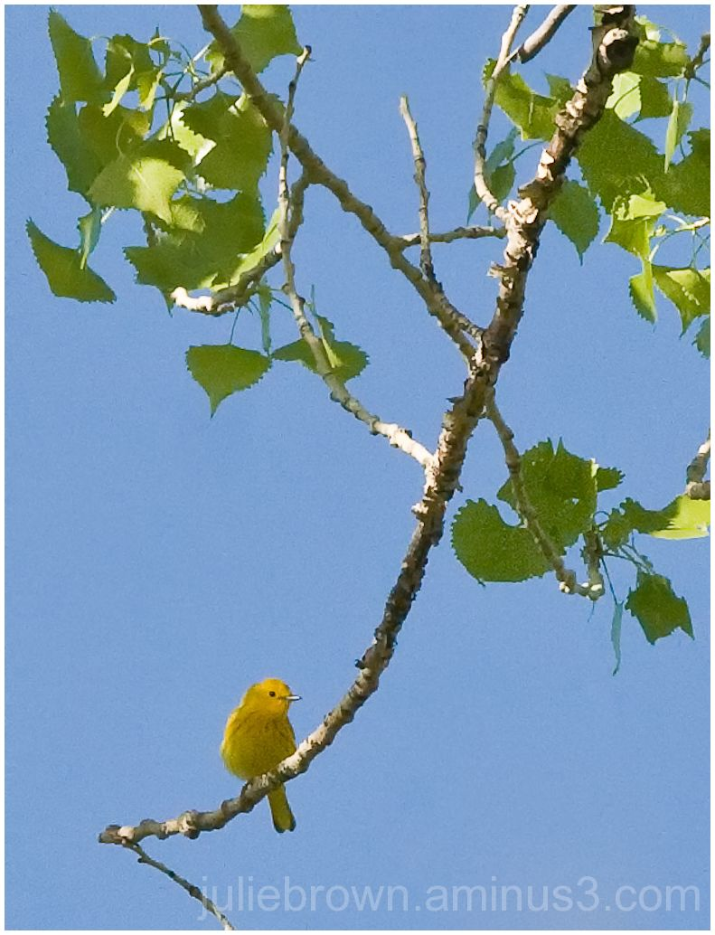 yellow warbler at mesa trail boulder county park