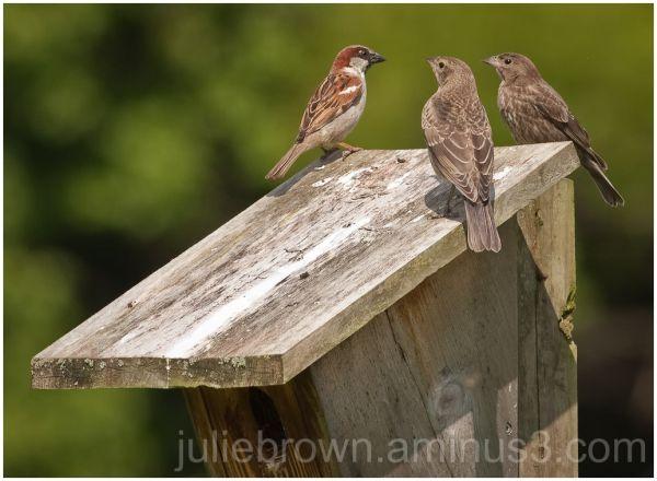 house sparrow meeting