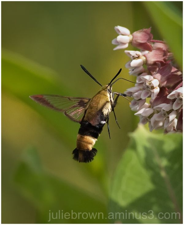 snowberry clearwing moth nectaring om milkweed