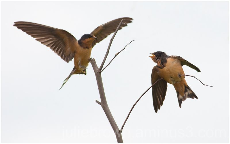 pair of swallows on tree branch