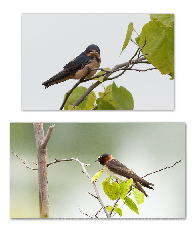 barn swallow and cliff swallow portrait