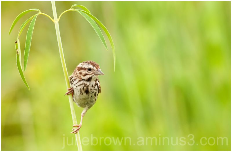 song sparrow clinging to grass stalk