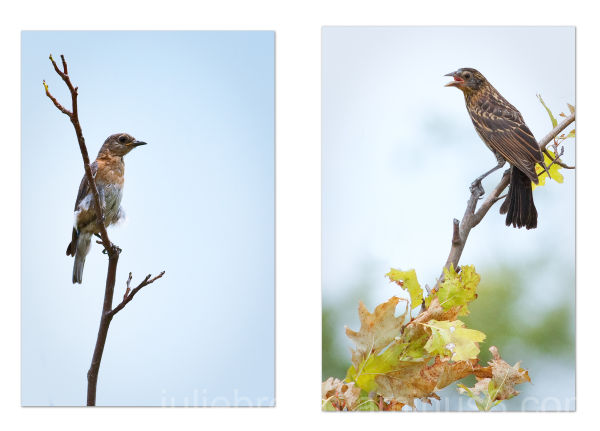 immature bluebird/fledgling red-winged blackbi