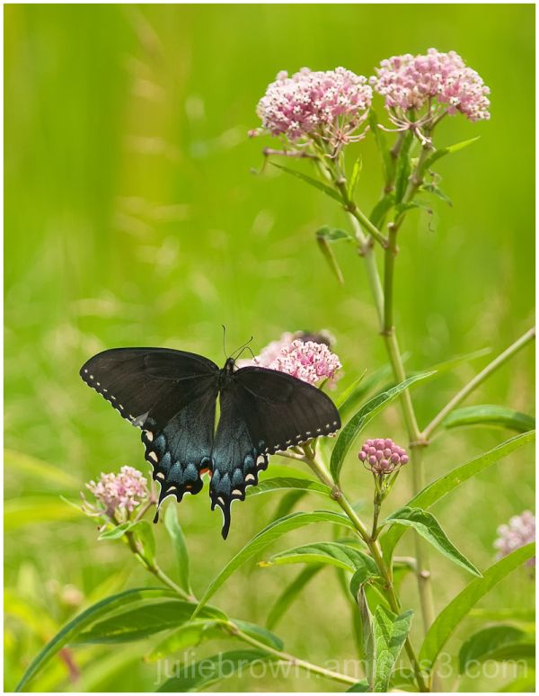 eastern tiger swallowtail black female