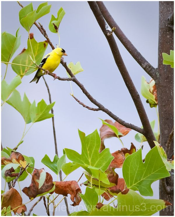 american gold finch at central park