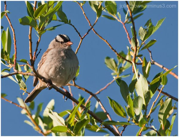 White-Crowned Sparrow on Kebler Pass Road