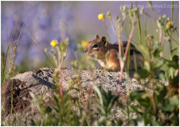 chipmunk on rock gothic road crested butte