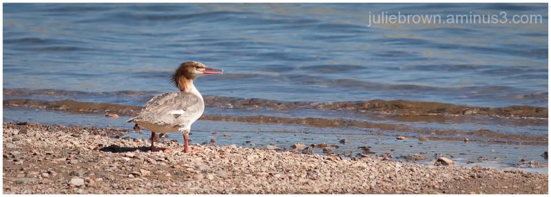 common merganser on blue mesa reservoir