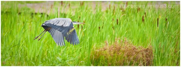great blue heron in marsh carmel indiana