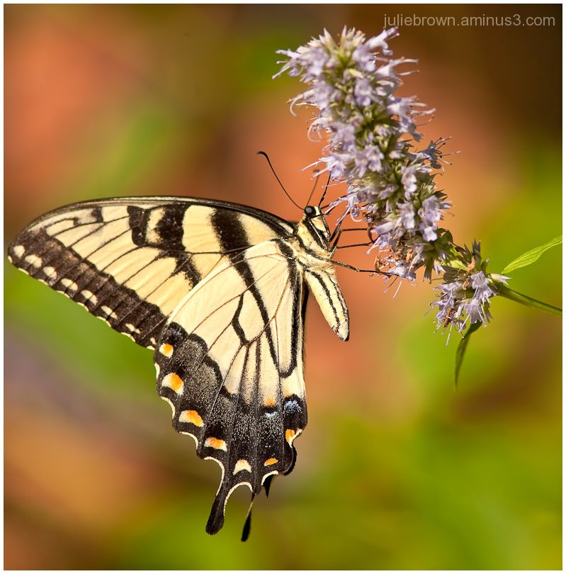 tiger swallowtail on hyssop