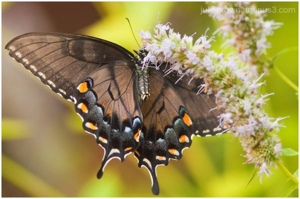 female tiger swallowtail, black morph on hyssop