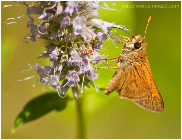 orange skipper on hyssop flower