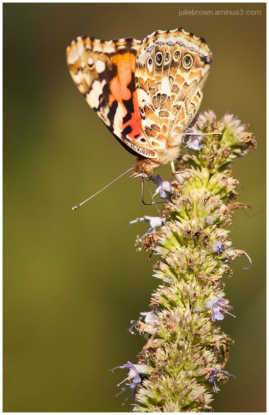 painted Lady with closed wings on hyssop flower