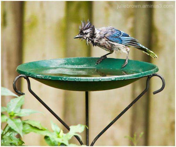 blue jay bad hair day at the birdbath